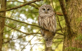 Picture branches, background, tree, owl, bird, bokeh, owl