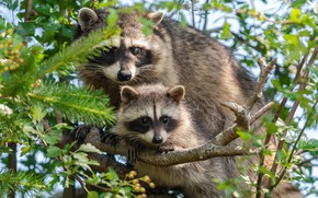Picture branches, cub, raccoons