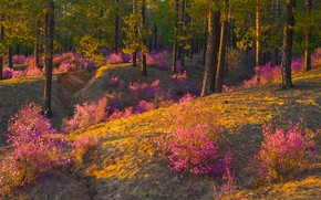 Picture forest, flowers, spring, pink, flowering, the bushes, lilac