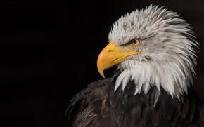 Picture look, bird, eagle, portrait, black background, predatory, bald eagle