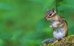Picture look, leaves, pose, legs, muzzle, Chipmunk, striped, green background, stand, rodent
