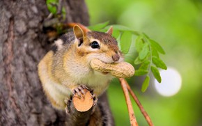 Picture look, leaves, pose, green, background, tree, walnut, muzzle, animal, Chipmunk, bitches, bokeh, rodent, peanuts, meal