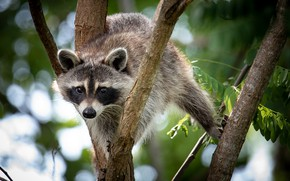 Picture tree, raccoon, funny