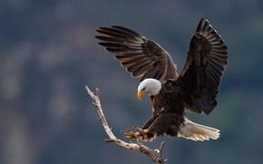 Picture bird, predator, handsome, bald eagle