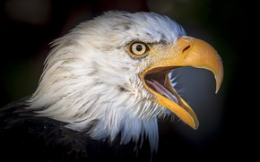 Picture bird, portrait, beak, bald eagle