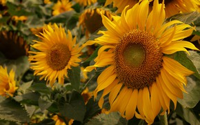 Picture field, leaves, sunflowers, flowers, close-up, yellow, sunflower