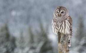 Picture winter, background, owl, bird, blurred background, column, owl, motley