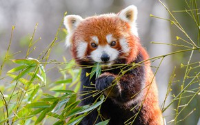 Picture look, face, leaves, branches, pose, paw, portrait, red Panda, lunch, red Panda, meal