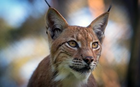 Picture look, face, nature, background, portrait, lynx, wild cat, bokeh, brushes on ears