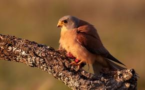 Picture light, background, bird, branch, Falcon, Kestrel, ruffled