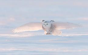 Picture winter, light, snow, bird, wings, the scope, snowy owl