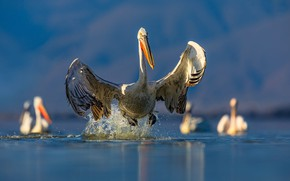 Picture water, light, squirt, birds, wings, the rise, pond, blue background, the scope, pelicans, Pelican