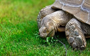 Picture grass, glade, turtle, large, lunch, land