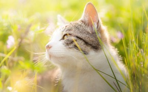 Picture cat, grass, cat, look, face, light, flowers, nature, portrait, meadow, white with grey