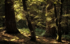 Picture forest, light, trees, branches, nature, trunks, foliage, fern