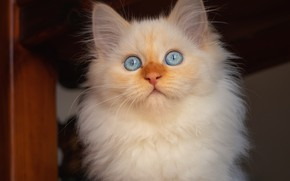 Picture cat, white, look, kitty, baby, Neva masquerade, red-point