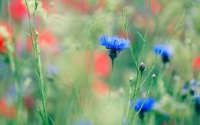 Picture field, flowers, glade, Maki, blur, meadow, blue, red, blue, bokeh, cornflowers, cornflower