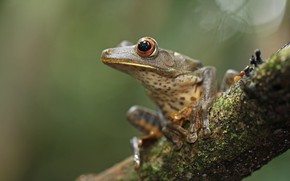 Picture look, macro, pose, background, frog, legs, branch, grey, bokeh, speckled, wood, dendrobates