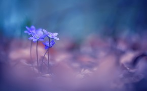 Picture flowers, spring, violet