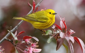 Picture leaves, yellow, bird, branch, bird, yellow, a woodland songster