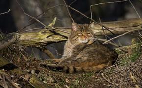 Picture cat, branches, nature, lies, log, wildcat, wild cat