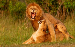 Picture love, pose, passion, Leo, mouth, pair, lions, lioness, two, sex, roar, pairing