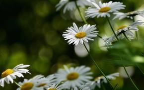 Picture flowers, chamomile, white, bokeh, leucanthemum
