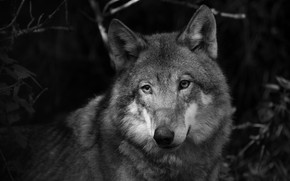 Picture look, face, grey, wolf, portrait, black and white, monochrome