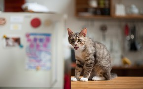 Picture cat, cat, refrigerator, kitchen, asks for food