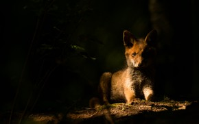 Picture look, face, light, the dark background, Fox, Fox, Fox, in the shadows