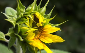 Picture leaves, flowers, sunflower, Bud, flowers