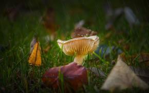 Picture autumn, grass, leaves, drops, rain, glade, mushroom, autumn leaves, Russula, fungus