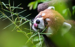 Picture language, leaves, branch, red Panda, face, red Panda, meal
