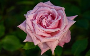 Picture flower, leaves, pink, rose, Bud, one