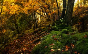 Picture autumn, forest, trees, landscape, nature, moss, Tamas Hauk