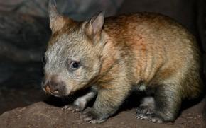 Picture night, Australia, young, mammals, chord, marsupials, Wombat, dvortsovye, ambatovy