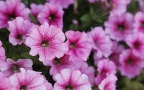 Picture purple, summer, flowers, nature, pink, spring, garden
