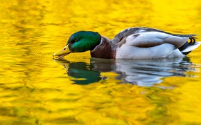 Picture water, reflection, duck, yellow background, pond, swimming, Drake