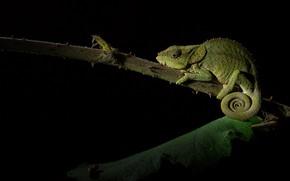 Picture chameleon, leaf, stem, black background, reptile