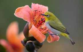 Picture flower, orange, background, bird, bird, Japanese white-eye