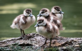 Picture birds, shore, duck, ducklings, Chicks, pond, duck, bokeh, four, brood