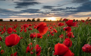 Picture field, flowers, England, Maki, England, Wiltshire, Wiltshire