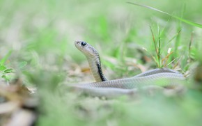 Picture grass, look, nature, background, snake, light, reptile, blurred