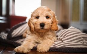 Picture puppy, doggie, Cocker poodle, The Cockapoo