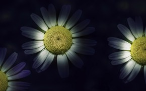 Wallpaper flowers, background, chamomile