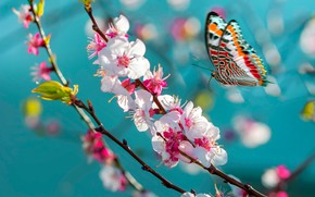 Picture macro, flight, flowers, butterfly, branch, spring, Sakura, insect, flowering, turquoise background