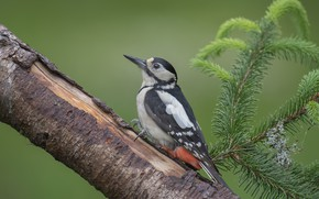 Picture branches, background, tree, bird, branch, woodpecker, needles