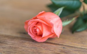 Picture flower, roses, Bud, rose, flower, wood, pink, romantic, pink rose, bud