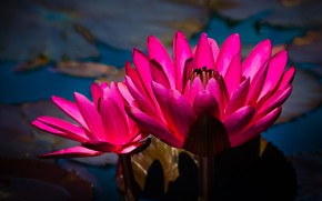 Picture water, macro, flowers, the dark background, bright, petals, pink, water lilies, nymphs