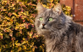 Picture autumn, cat, look, leaves, foliage, grey, the bushes